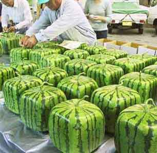 square-watermelons-1